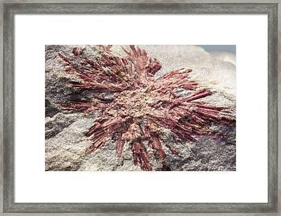 Tourmaline Crystals In Quartzite Framed Print by Science Photo Library