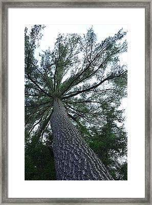 Towering Pine Framed Print