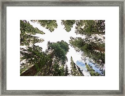 Towering Pine Trees Framed Print by James BO  Insogna