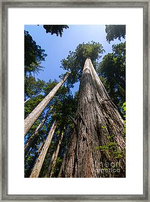 Towering Redwoods Framed Print