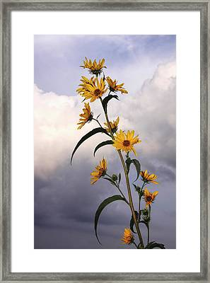 Framed Print featuring the photograph Towering Sunflowers by Rob Graham