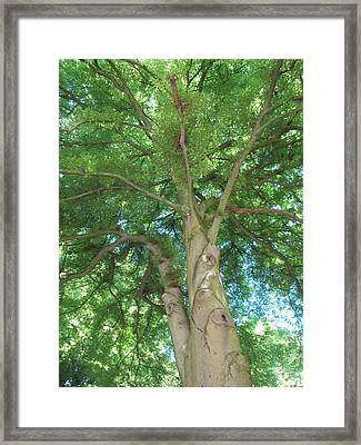 Framed Print featuring the photograph Towering Tree by Pema Hou