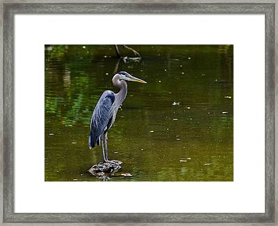 Towpath Heron Framed Print