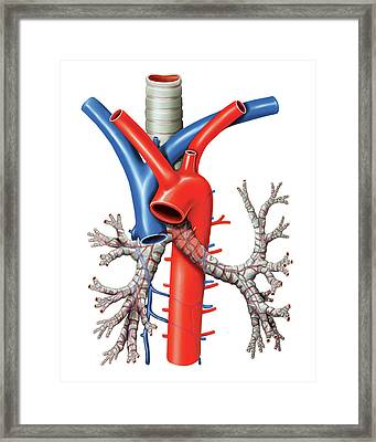 Trachea And Bronchi Framed Print by Asklepios Medical Atlas