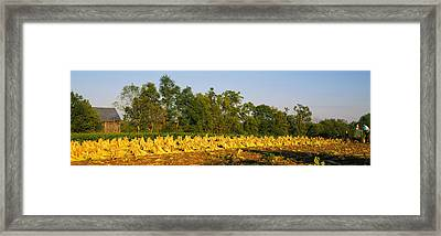 Tractor In A Tobacco Field, Winchester Framed Print by Panoramic Images