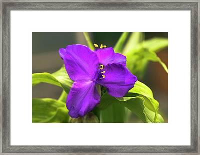Tradescantia 'purple Dome' Framed Print