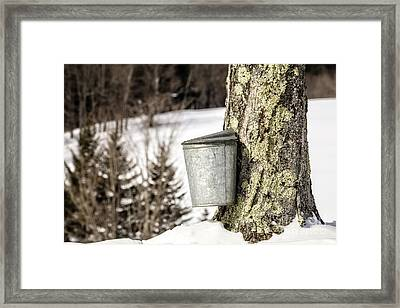 Traditional Sap Bucket On Maple Tree In Vermont Framed Print by Edward Fielding