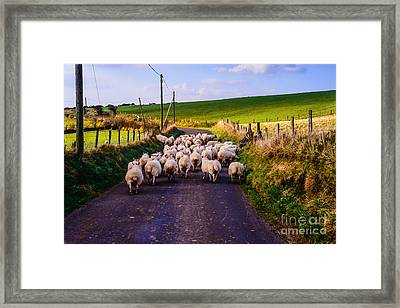 Traffic Jam Of Sheep Framed Print by Thomas R Fletcher