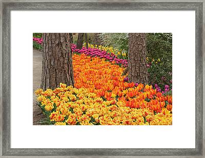 Framed Print featuring the photograph Trail Of Tulips by Robert Camp