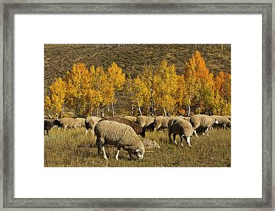 Trailing Of The Sheep Festival, Autumn Framed Print
