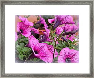 Framed Print featuring the photograph Trailing Petunias by Clare Bevan