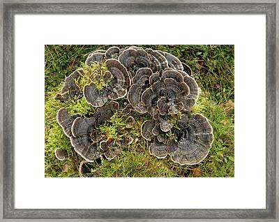 Trametes Versicolor Polypore Fungus Framed Print by Nigel Downer