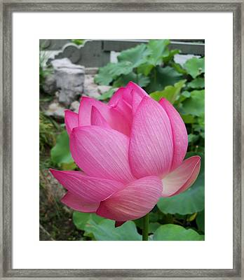 Tranquil Lotus  Framed Print by Lingfai Leung
