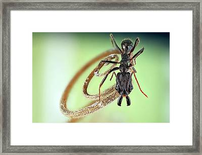 Trap-jaw Ant Framed Print