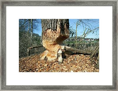 Tree Being Felled By Beaver Framed Print