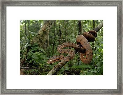 Tree Boa Framed Print by Francesco Tomasinelli