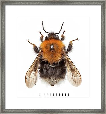 Tree Bumblebee Framed Print by Natural History Museum, London