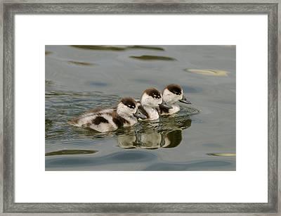 Tree Common Shelduck Ducklings Framed Print