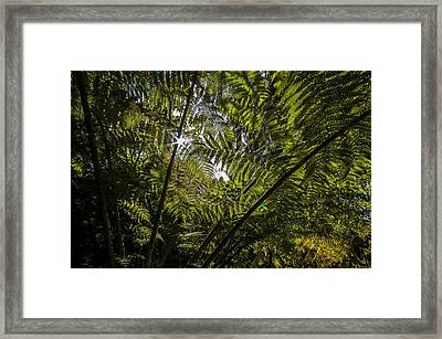 Tree Fern At Queen Charlotte Track Framed Print by Nigel Forster