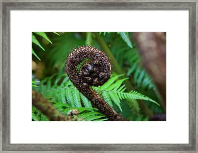 Tree Fern, Queen Charlotte Track Framed Print by Douglas Peebles