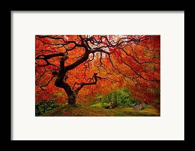 Japanese Maple Framed Prints