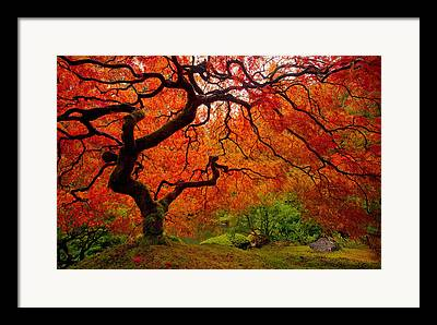 Japanese Maple Trees Framed Prints