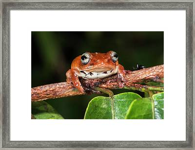 Tree Frog, Lango Bai, Congo Framed Print by Pete Oxford