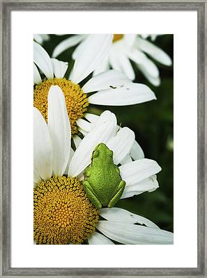 Tree Frog Rests On A Daisy  Astoria Framed Print