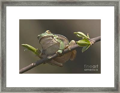Tree Frog Sitting On The Perch Framed Print by Odon Czintos