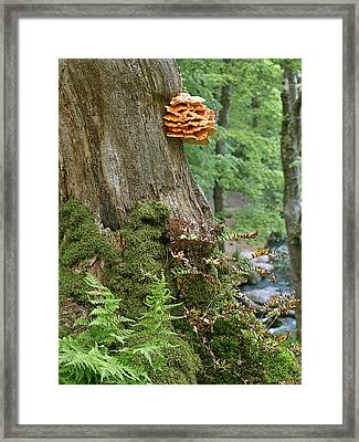 Tree Fungus - Chicken Of The Woods Framed Print by Gill Billington