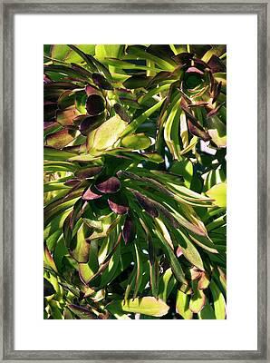 Tree Houseleek (aeonium Atropurpureum) Framed Print by Adrian Thomas