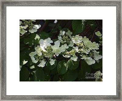 Tree Hydrangea Framed Print by Nancy Kane Chapman