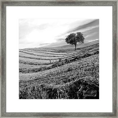 Tree In A Mowed Field. Auvergne. France Framed Print