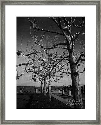 Tree In A Row  Framed Print