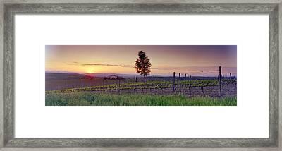 Tree In A Vineyard, Val Dorcia, Siena Framed Print