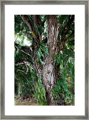Tree In Kauai Framed Print by Suzanne Luft