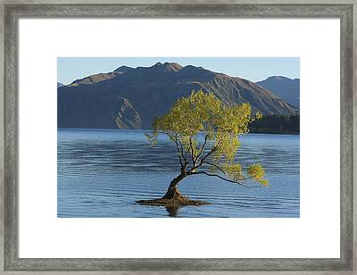 Tree In Lake Wanaka Framed Print