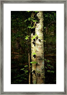 Tree In The Woods Framed Print by Pamela Critchlow