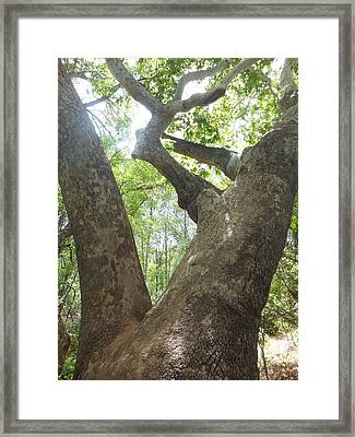 Tree Light Framed Print by Amy Drago