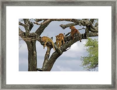 Tree Lions Framed Print by Tony Murtagh