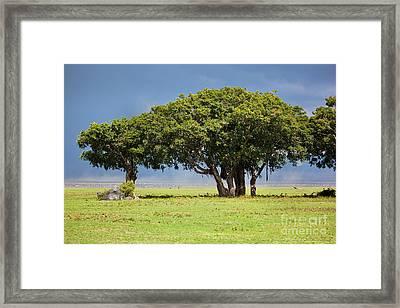 Tree On Savannah. Ngorongoro In Tanzania Framed Print by Michal Bednarek
