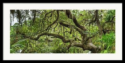 Oscar Scherer State Park Framed Prints