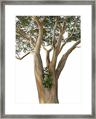 Tree On White - Albizia Niopoides And Epiphyte Framed Print