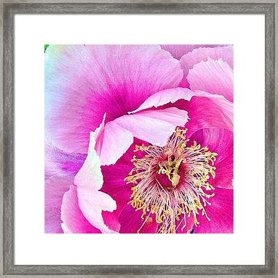 Tree Peony....what An Amazing Flower Framed Print