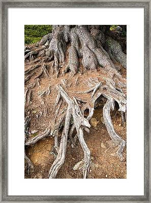 Tree Root Framed Print by Matthias Hauser