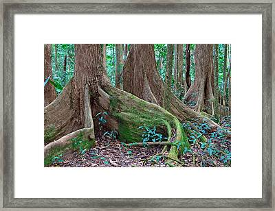 Tree Roots Tropical Rainforest Framed Print