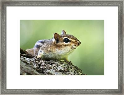 Tree Surfing Chipmunk Framed Print by Christina Rollo