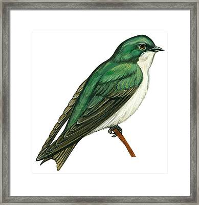 Tree Swallow  Framed Print by Anonymous