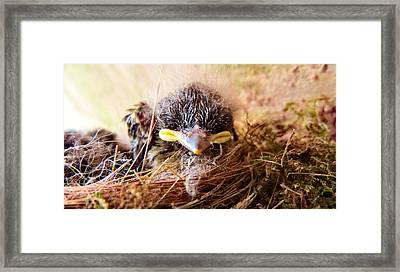 Tree Swallow Fledglings Framed Print by Art Dingo