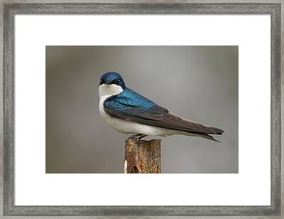 Tree Swallow In Mating Colors Framed Print by Doug Underwood